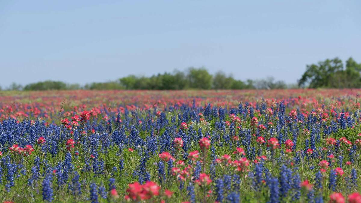 San Antonio photographer Cathy Alba captured this scene of Indian paintbrush and sandyland bluebonnets near Somerset and Poteet.