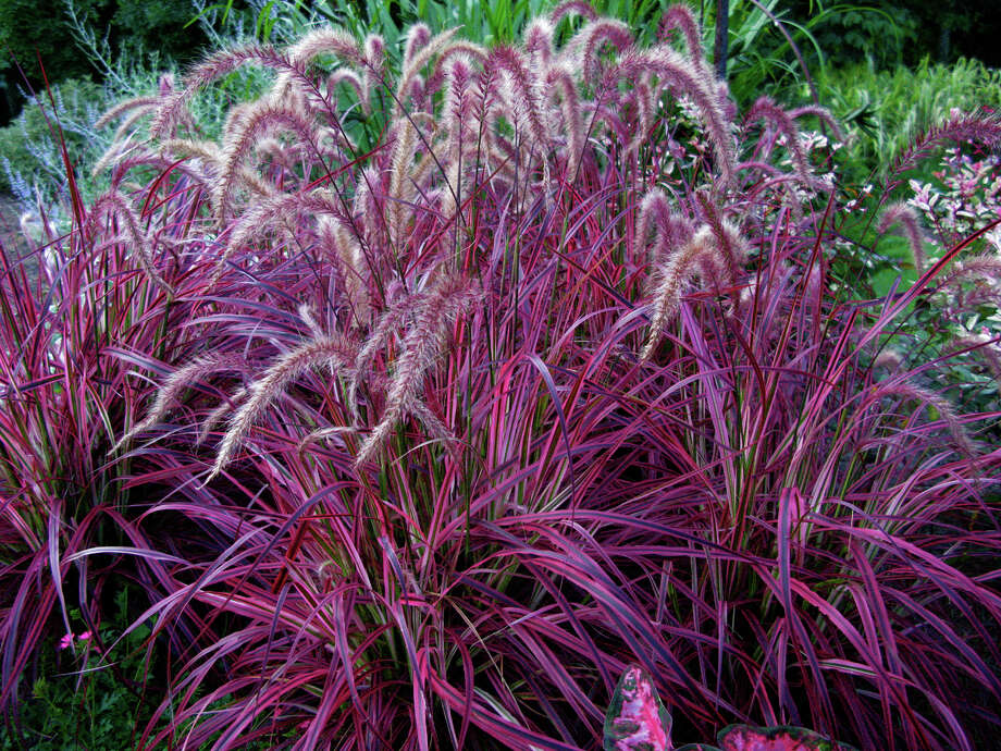 'Fireworks' is the first variegated purple fountain grass. Photo: ItSaul Plants