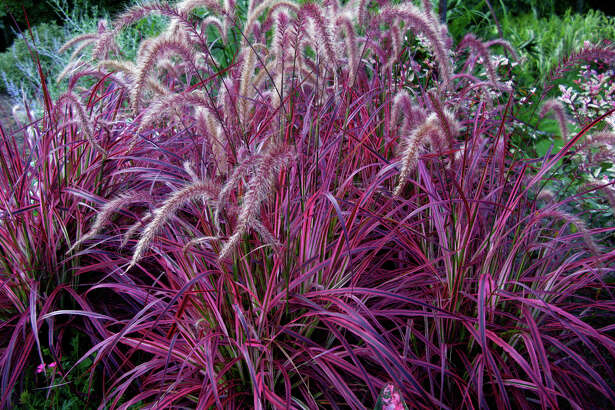 'Fireworks' is the first variegated purple fountain grass.