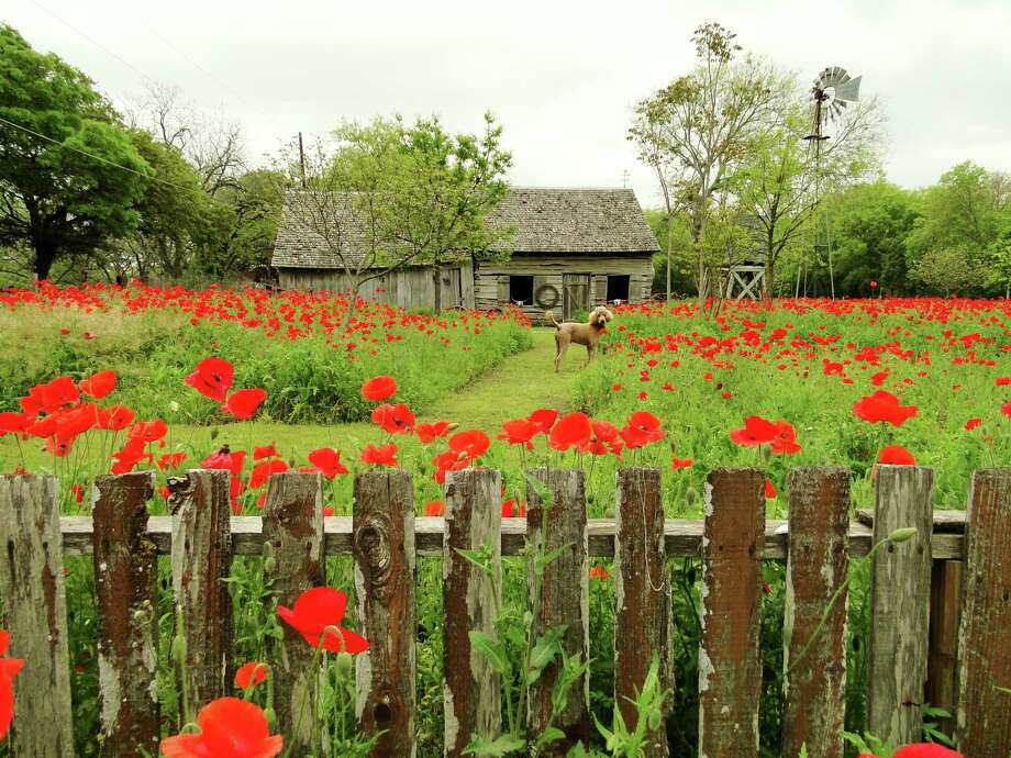 Jack, a   poodle that belongs to Sally Coyle and Lloyd Ross of Castroville, frolics through poppies. Ross mows paths through the flowers so visitors can walk through and get photos of the circa 1840s log cabin. Photo: Tracy Hobson Lehmann / San Antonio Express-News