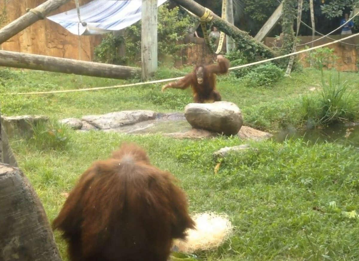Sumatran Orangutans Aurora and Cheyenne hunt Easter eggs at the Houston Zoo.