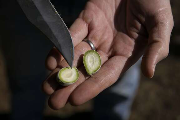 (l to r) David Doll, a farm advisor with the University of California Cooperative Extension holds an almond nut he he believes is smaller in size due to the current drought, taken from an orchard near Stevinson, Calif, as seen on Fri. April 3, 2015.