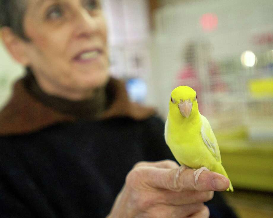 Laurie Fierst, owner of Parrots and Co. on Crescent Street in Stamford, Conn., holds a bird as she talks about the business on Thursday, March 26, 2015. Photo: Lindsay Perry / Stamford Advocate