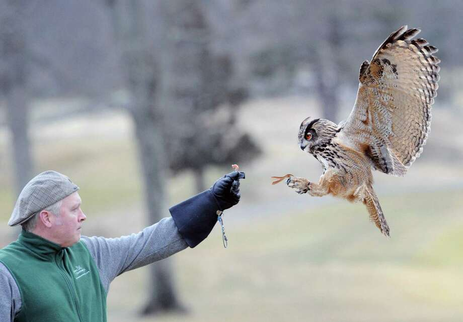 Master falconer Brian Bradley works with birds of prey during the demonstration he gave as part of an Audubon Connecticut event at the Round Hill Club in Greenwich, Conn., Thursday night, April 2, 2015. Photo: Bob Luckey / Greenwich Time