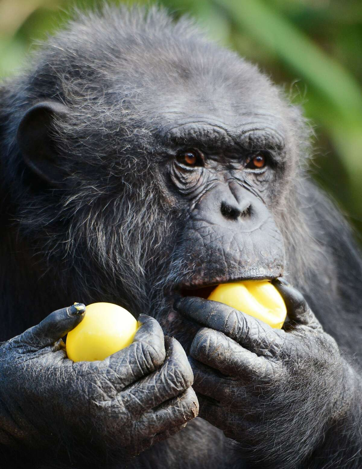 A chimpanzee looks for its treat after opening a wrapped plastic egg on Easter at the zoo in La Fleche, western France, on April 5, 2015. AFP PHOTO / JEAN-FRANCOIS MONIERJEAN-FRANCOIS MONIER/AFP/Getty Images