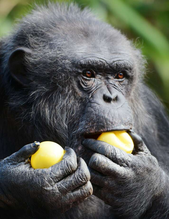 A chimpanzee looks for its treat after opening a wrapped plastic egg on Easter at the zoo in La Fleche, western France, on April 5, 2015. Researchers now say humans' last common ancestor linking us to apes was probably more chimp-like than people-like. AFP PHOTO / JEAN-FRANCOIS MONIERJEAN-FRANCOIS MONIER/AFP/Getty Images Photo: Jean-francois Monier, AFP / Getty Images