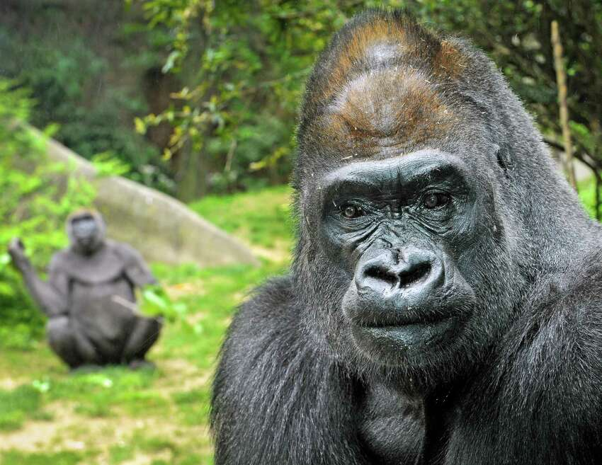 Zuri, a 31-year-old male western, lowland gorilla, photographed at the Bronx Zoo before moving to the Houston Zoo.