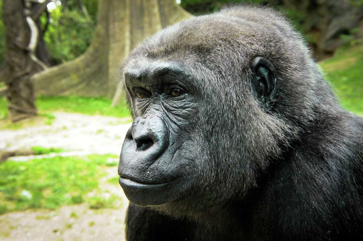 Holli, shown here in a 2015 picture, escaped her enclosure Saturday to hang out with the wild hogs next door.