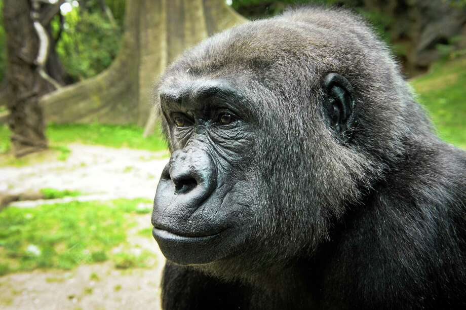 """Can I take my gun to the zoo?"" & more only-in-Texas questionsA quirk in Texas conceal handgun laws are leaving a strange grey area regarding whether Texans can bring their weapons to privately-owned, publicly-funded places like zoos. So can you bring your gun to the zoo? No – it makes the gorillas jealous (that's a joke).Check out these other strange questions that only get asked in Texas ...  Photo: Julie Larsen Maher, © Wildlife Conservation Society"