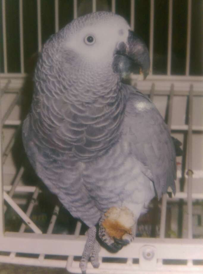 A 13-year-old parrot named Gretta was stolen during a burglary on the Northwest Side on March 30. Photo: San Antonio Police Department