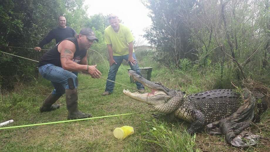 Gator Country posted this photo on its Facebook page this morning. The gator in question  reportedly weighs 400 pounds.