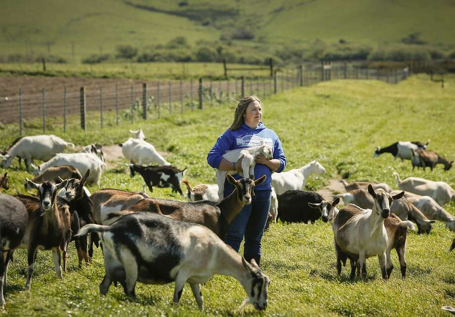 Anna Hancock, owner of Pugs Leap Cheese and White Whale Farm, is seen with some of her goats on Thursday, April 2, 2015 in Petaluma, Calif. Photo: Russell Yip, The Chronicle