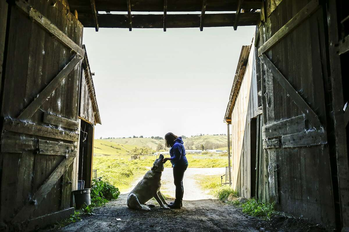 Anna Hancock, owner of Pugs Leap Cheese and White Whale Farm, and her dog, Sam, are seen in an 1867 barn on Thursday, April 2, 2015 in Petaluma, Calif.