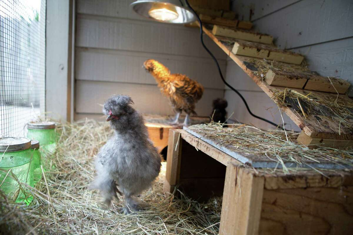 Chickens are seen in a coop at a house in the Heights, Monday, March 16, 2015, in Houston. The Grahams run a company called The Garden Hen where they build custom coops, do educational sessions in schools (hatching chicks) and various other chicken-related goodness. (Cody Duty / Houston Chronicle)