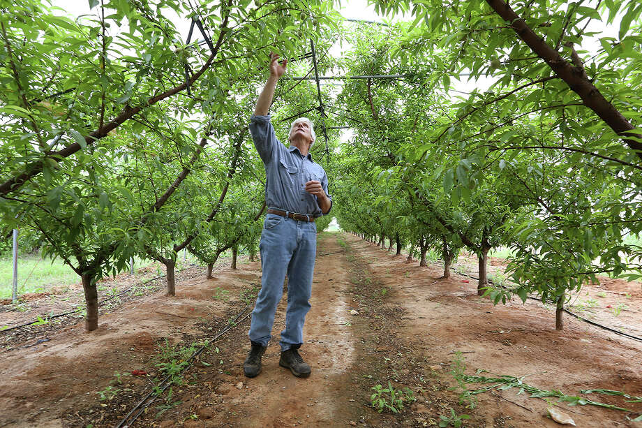 Russ Studebaker checks out a crop of peaches growing under a high tunnel at his Studebaker Farms between Fredericksburg and Stonewall on Tuesday. Studebaker has 3,000 peach trees on 30 acres at his farm. Barring a spring hail storm, the weather this year has cooperated. Photo: Jerry Lara /San Antonio Express-News / © 2015 San Antonio Express-News