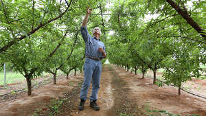 Russ Studebaker checks out a crop of peaches growing under a high tunnel at his Studebaker Farms between Fredericksburg and Stonewall on Tuesday. Studebaker has 3,000 peach trees on 30 acres at his farm. Barring a spring hail storm, the weather this year has cooperated.