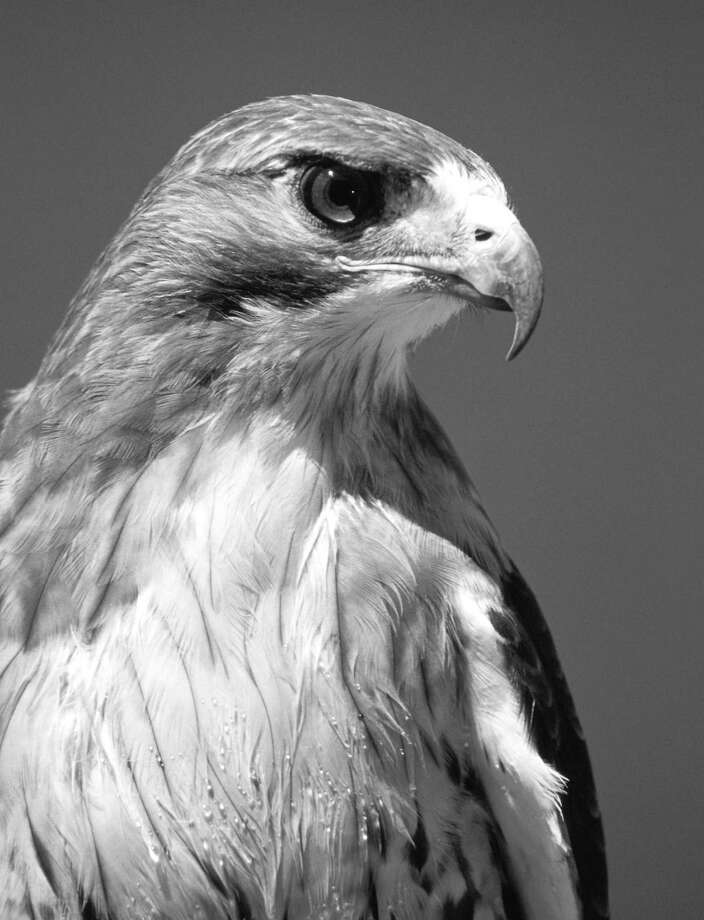 The Connecticut Audubon Society will present an informative lecture on birds of prey, at New Canaan Library on May 2, 1 p.m. Photo: Contributed Photo / Greenwich Citizen
