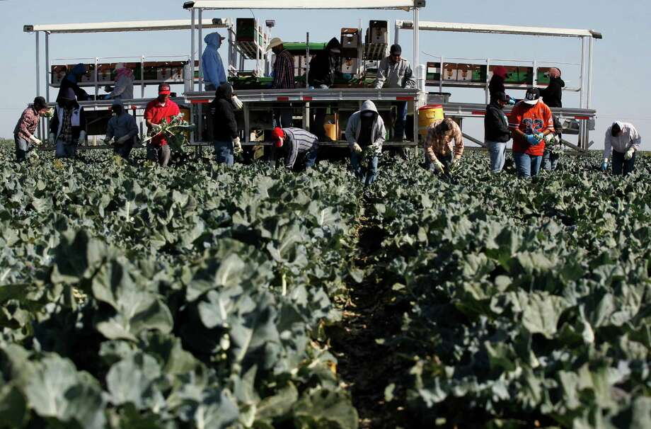 A crew harvests broccoli on the Pappas & Co. farm in Mendota (Fresno County) in 2014. About half of the state's developed water supply goes to agriculture, which accounts for about 2 percent of the state's economy. Photo: Leah Millis / San Francisco Chronicle / ONLINE_YES