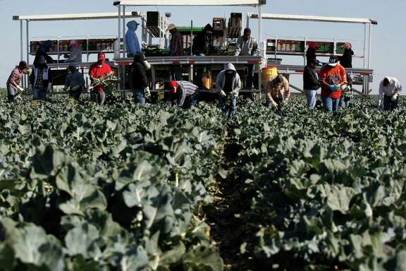 A crew harvests broccoli on the Pappas & Co. farm in Mendota (Fresno County) in 2014. About half of the state's developed water supply goes to agriculture, which accounts for about 2 percent of the state's economy.