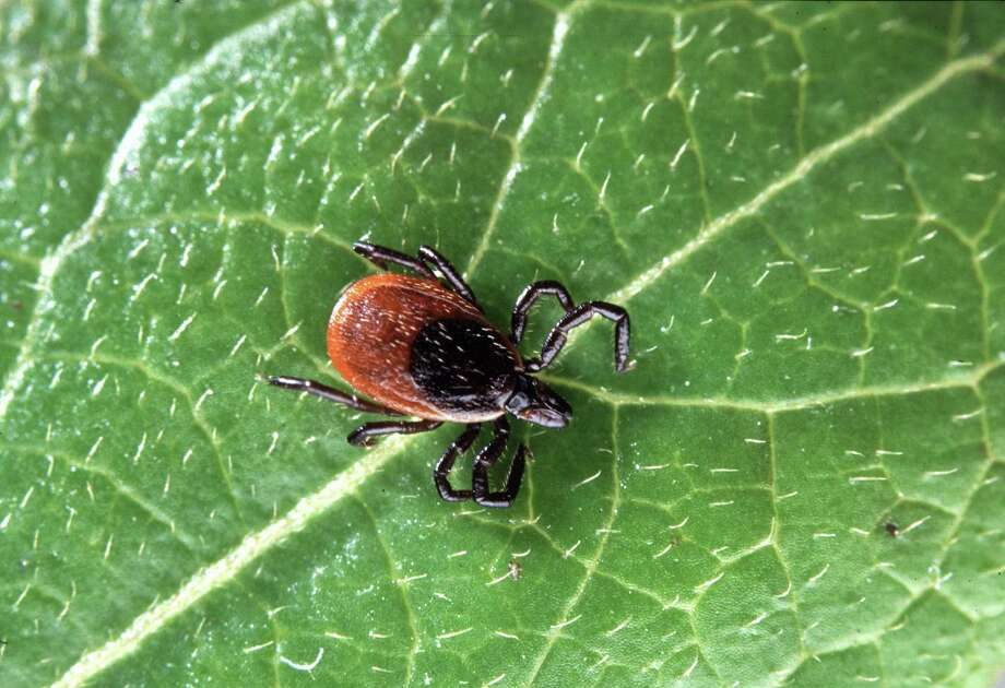 The deer tick is linked to a new tick-borne disease called the Powassan virus. Photo courtesy of U.S. Department of Agriculture. Photo: Contributed Photo, USDA/Contributed Photo / Connecticut Post Contributed