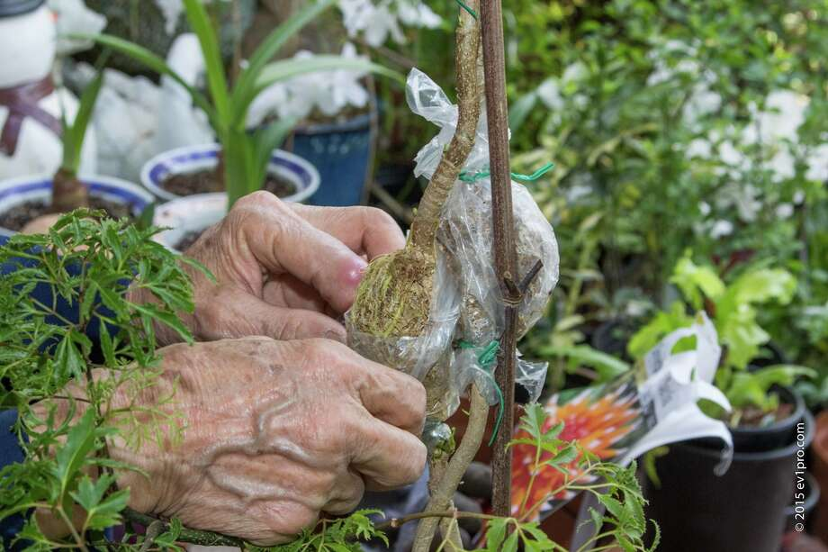 Inside plastic bags, the treated branches grow roots. Photo: Walter Jimenez, Copyright Ev1pro.com / 2014 Walterscreen.com