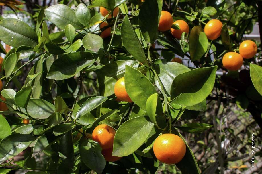 A persimmon tree flourishes in Nguyen's yard. Photo: Walter Jimenez, Copyright Ev1pro.com / 2014 Walterscreen.com