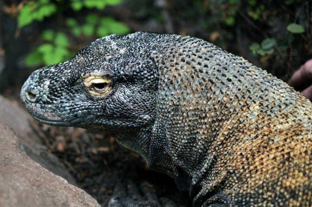 Faculty from the Baylor College of Medicine give Smaug, the Houston Zoo's Komodo dragon, an orthotic device, in this photos released April 9, 2015.