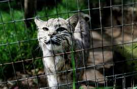 """Billy, who was raised by humans, comes to the side of his large enclosure to visit Thursday April 9, 2015. """"Billy"""" a rescued bobcat from Southern California now lives at the Sonoma County Wildlife Rescue center in Petaluma, Calif. Wildlife advocacy groups are demanding the state impose a complete ban on the hunting and trapping of bobcats."""