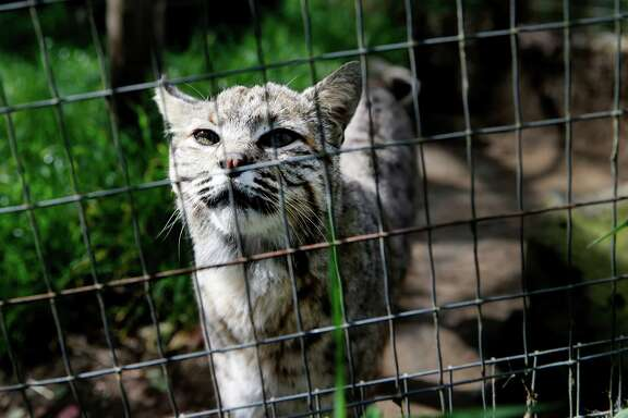 "Billy, who was raised by humans, comes to the side of his large enclosure to visit Thursday April 9, 2015. ""Billy"" a rescued bobcat from Southern California now lives at the Sonoma County Wildlife Rescue center in Petaluma, Calif. Wildlife advocacy groups are demanding the state impose a complete ban on the hunting and trapping of bobcats."