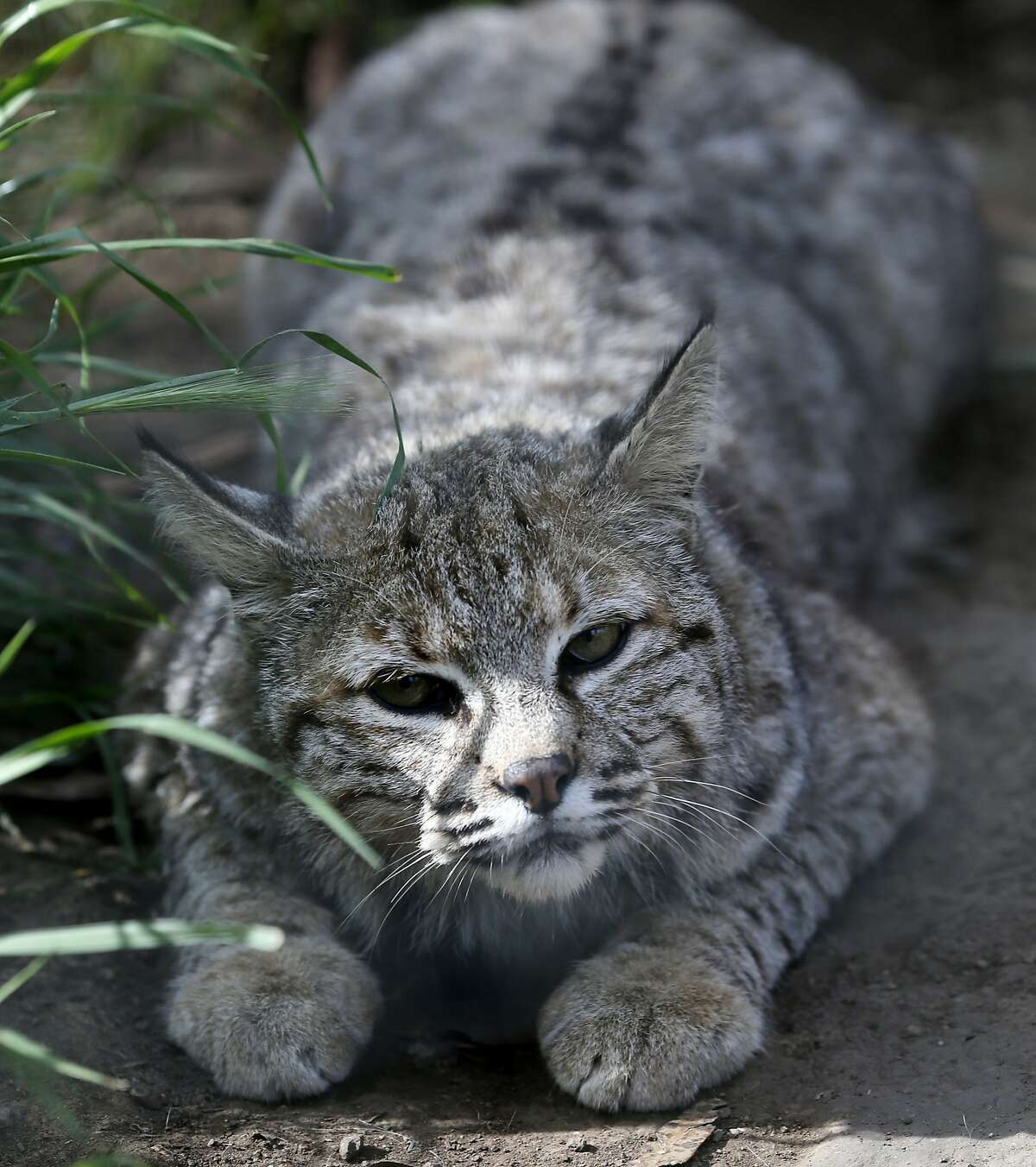 """Billy, an adult bobcat, kneels in his large enclosure Thursday April 9, 2015. """"Billy"""" a rescued bobcat from Southern California now lives at the Sonoma County Wildlife Rescue center in Petaluma, Calif. Wildlife advocacy groups are demanding the state impose a complete ban on the hunting and trapping of bobcats."""