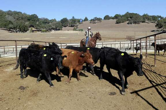 In this Tuesday Jan. 14, 2014 photo, Jim Warren, top, owner of the 101 Livestock Market gathers cattle for an auction in Aromas, Calif. California's worsening drought is forcing many ranchers to sell their cattle and other livestock because their pastures are too dry to feed them and it's getting too expensive to buy hay and other supplemental feed. California only got a fraction of its normal rainfall last year, leaving reservoirs and groundwater levels at record lows and prompting many cities to cut water usage. (AP Photo/Marcio Jose Sanchez)