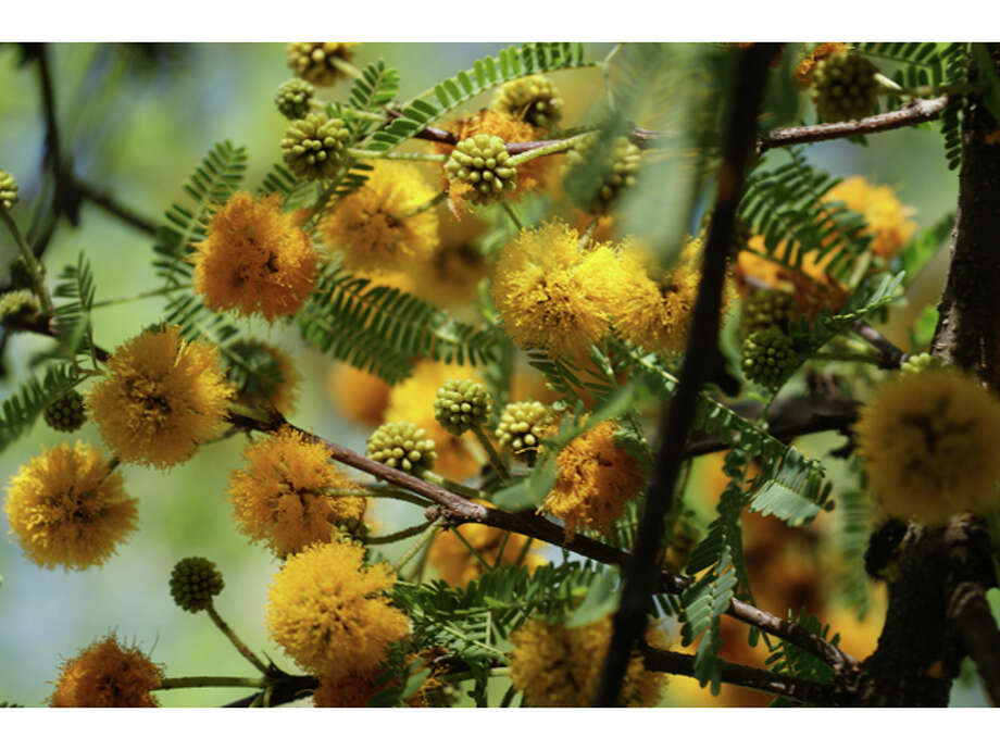 Some liken the fragrance of the huisache bloom to a blend of violets and orange blossoms,  therefore the common name sweet acacia. Europeans have been taken with the scent for centuries and use the flowers to make perfume. Photo: Ray Matthews