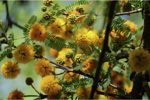 Some liken the fragrance of the huisache bloom to a blend of violets and orange blossoms,  therefore the common name sweet acacia. Europeans have been taken with the scent for centuries and use the flowers to make perfume.