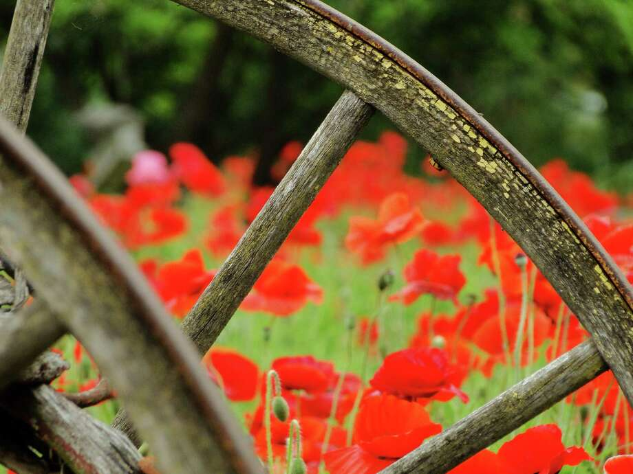 Poppies are a spring tradition in Castroville, a town filled with historic homes dating to the 1840s. Photo: Tracy Hobson Lehmann