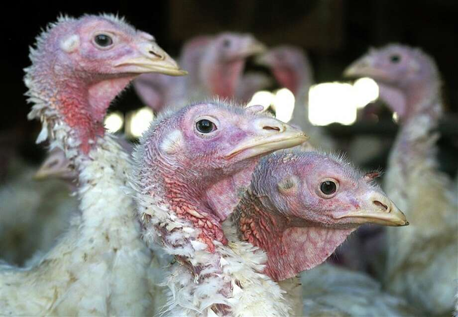 When the turkeys on the latest farms hit by bird flu die, the U.S. will have lost over 1.2 million birds to the outbreak. Photo: Associated Press File Photo / AP