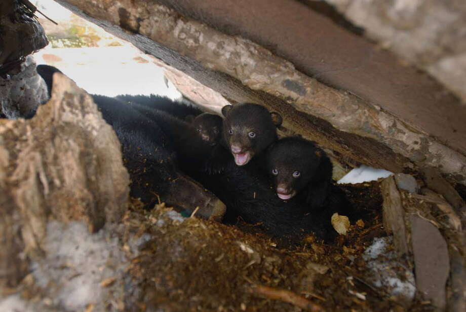 FILE — Three of the four bear cubs look out from their den in the Catskill Mountains in Tannersville, N.Y., on Tuesday, March 13, 2007, after being placed back inside with their mother. (Paul Buckowski/Times Union archive) Photo: Paul Buckowski / Albany Times Union