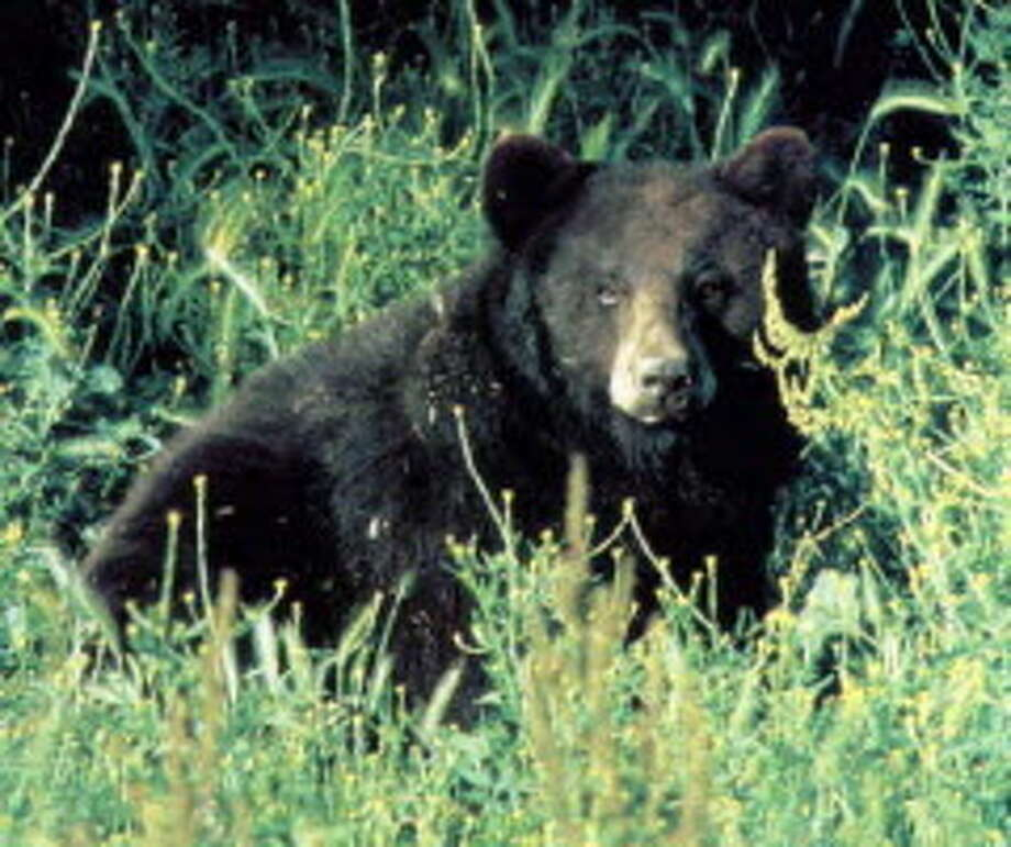 DEC image of a black bear in Adirondacks. (Times Union archive) ORG XMIT: MER2015041314234706