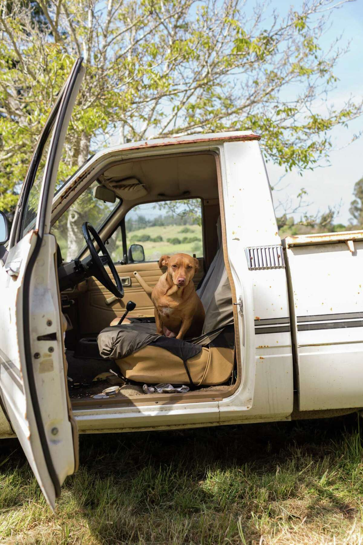 Ventana Surfboards production facility is a tiny shack at the top of a hill surrounded by grassy fields in Larkin Valley, Calif., Monday, April 13, 2015. Here one of Martjin Stiphout's dogs, Coho, in the driver;s seat of his truck.