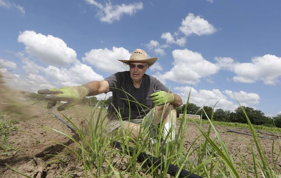 Mike Reitinger pulls weeds from a row of squash growing at the Shiloh Field  community garden in Denton, Texas,  Thursday, May 29, 2014. Unlike most Texas communities that have embraced the lucrative oil and natural gas booms, Denton leaders are considering a petition to ban hydraulic fracturing. Although sitting on top of the Barnett Shale, believed to hold one of the largest natural gas reserves in the U.S., Denton would rather be known for having the largest community garden in the U.S. (AP Photo/LM Otero) Photo: Associated Press