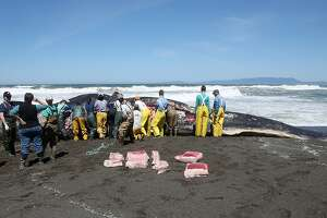 Pacifica beached whale's cause of death remains a mystery - Photo