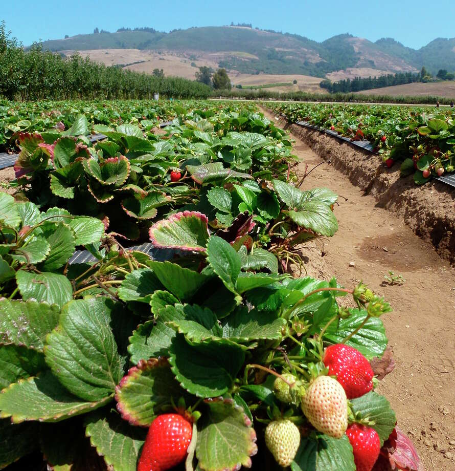 Strawberries ready for picking at Gizdich Ranch in Watsonville. Photo: Courtesy Gizdich Ranch / ONLINE_YES