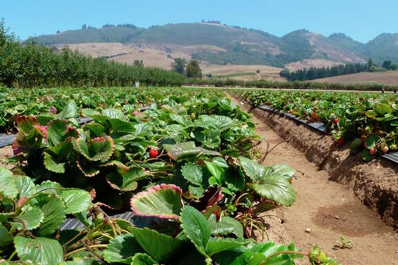 Strawberries ready for picking at Gizdich Ranch in Watsonville.