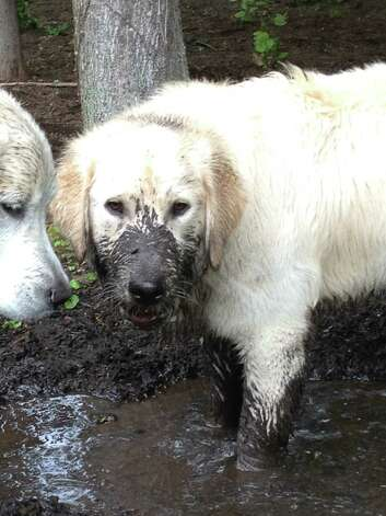 Murphy doesn't seem to mind messing up a beautiful coat while enjoying the spring mud with a companion, Tillie, at the Seligman's back yard at Robinwood Drive in Clifton Park. (Pat Seligman)