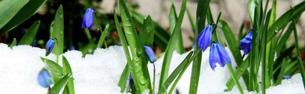 Spring blooms from a patch of Siberian squill rise from their snowy covering Wednesday morning, April 16, 2014, at a home on North Lane in Colonie, N.Y. An unseasonable snowstorm rolled into the Capital Region Tuesday night. (Will Waldron/Times Union) Photo: WW / 00026519A