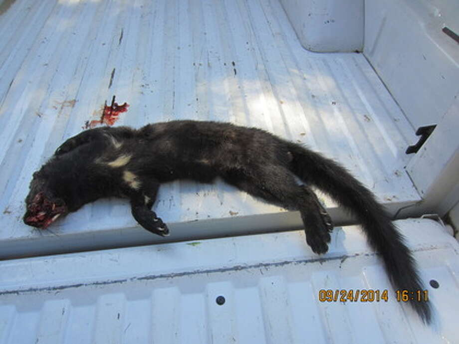 A rare Pacific Fisher was struck by a car near Grant Grove in Sequoia and Kings Canyon National Parks last year. The animal is one that roadkill observers are particularly concerned about.