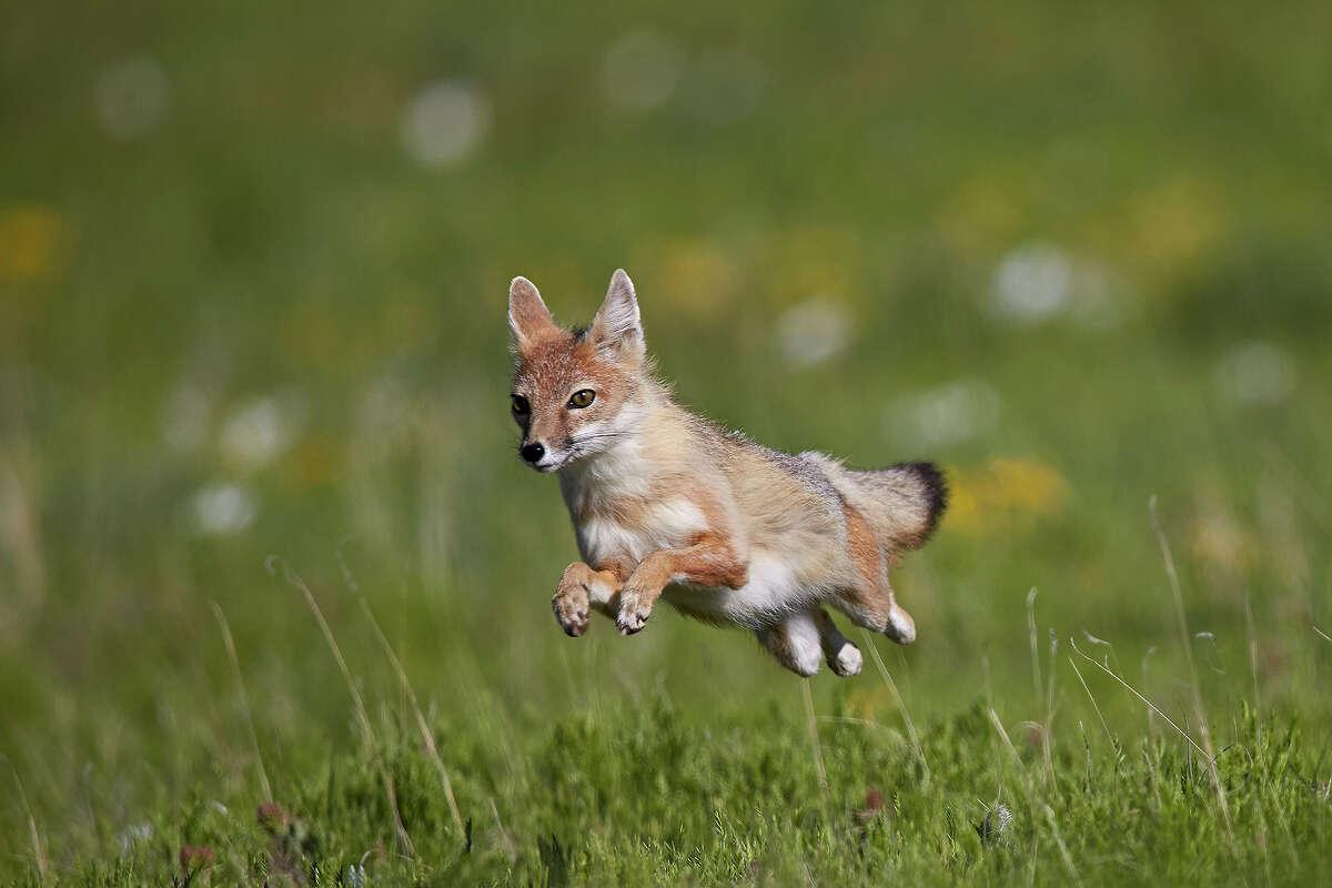 Animal: Swift fox Park:Pawnee National Grassland, Colorado