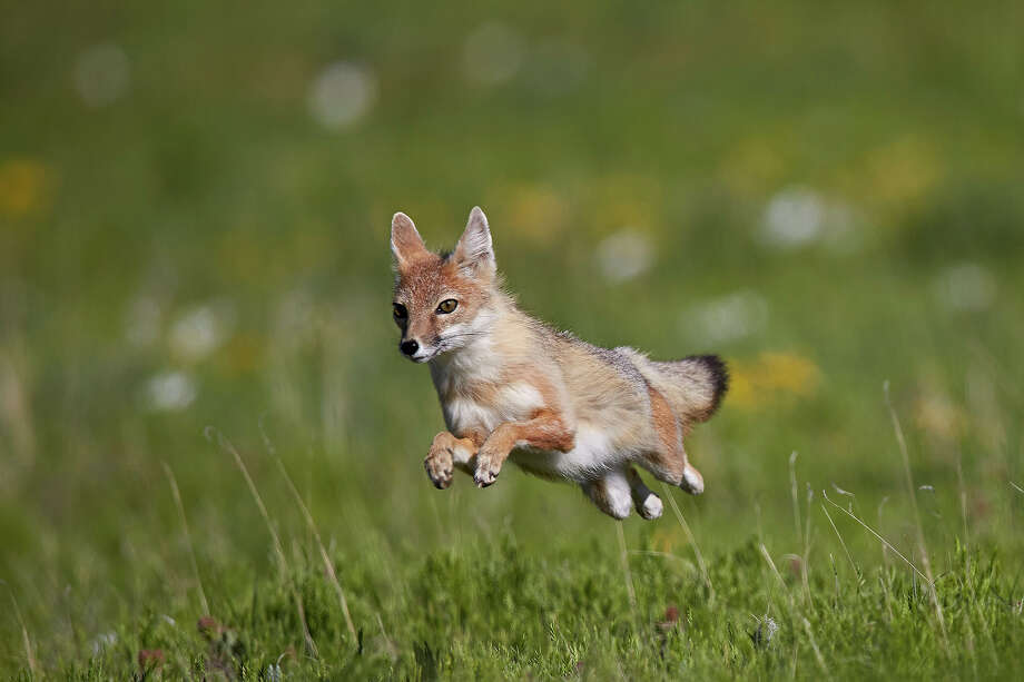 Swift fox, Pawnee National Grassland, Colorado. Photo: James Hager, Getty Images / James Hager