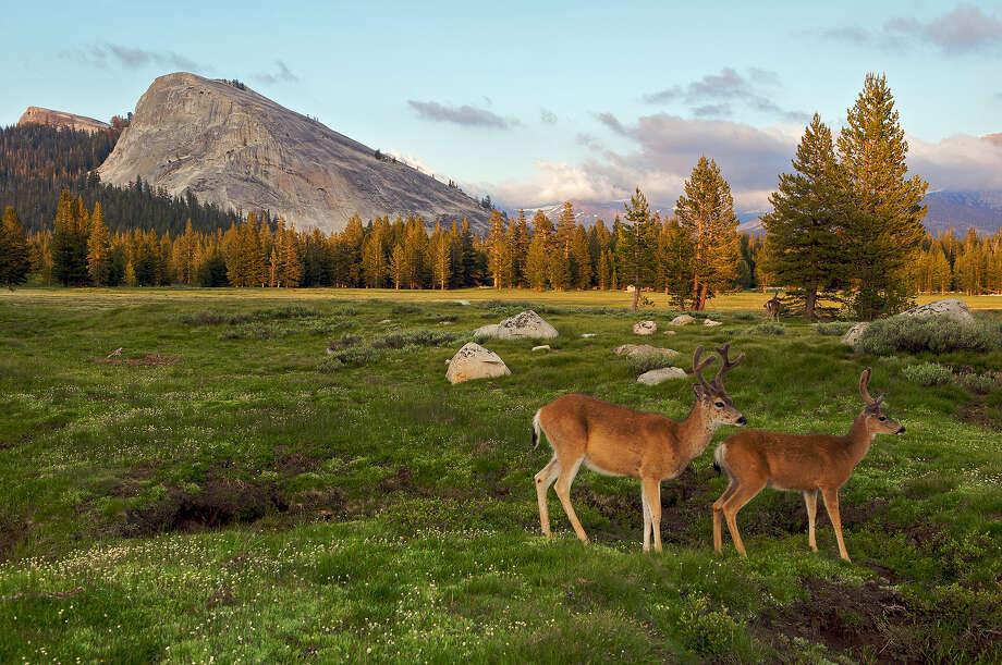 Deer, Yosemite National Park, California. Photo: Stevedunleavy.com, Getty Images / ©steve dunleavy 2011