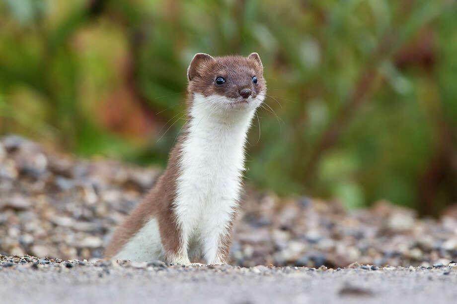 Short-tailed weasel, Denali National Park, Alaska Photo: Roberta Olenick, Getty Images / All Canada Photos