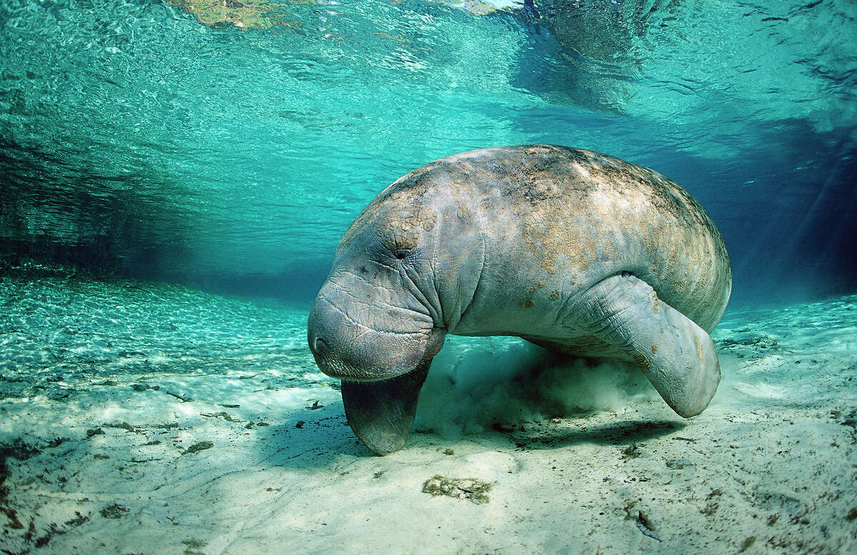 Animal: West Indian Manatee Park: Crystal River National Wildlife Refuge, Florida